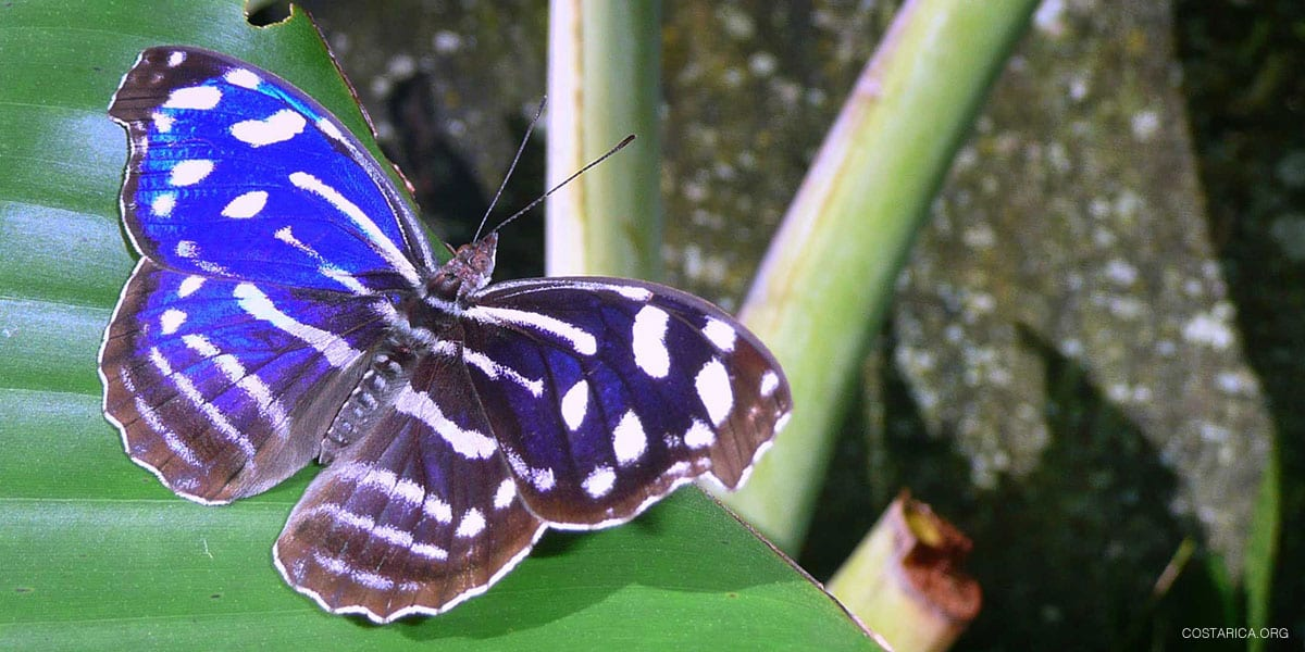Costa Rica Butterflies, Moths, and the Blue Morpho Butterfly