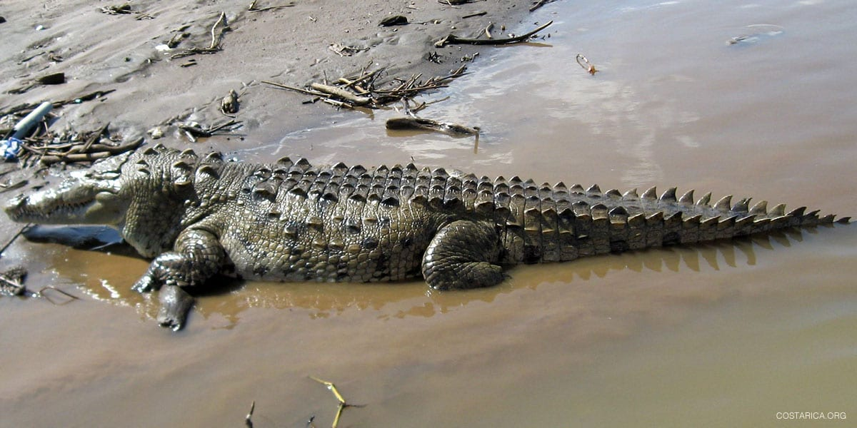 Crocodiles and Caimans in Costa Rica