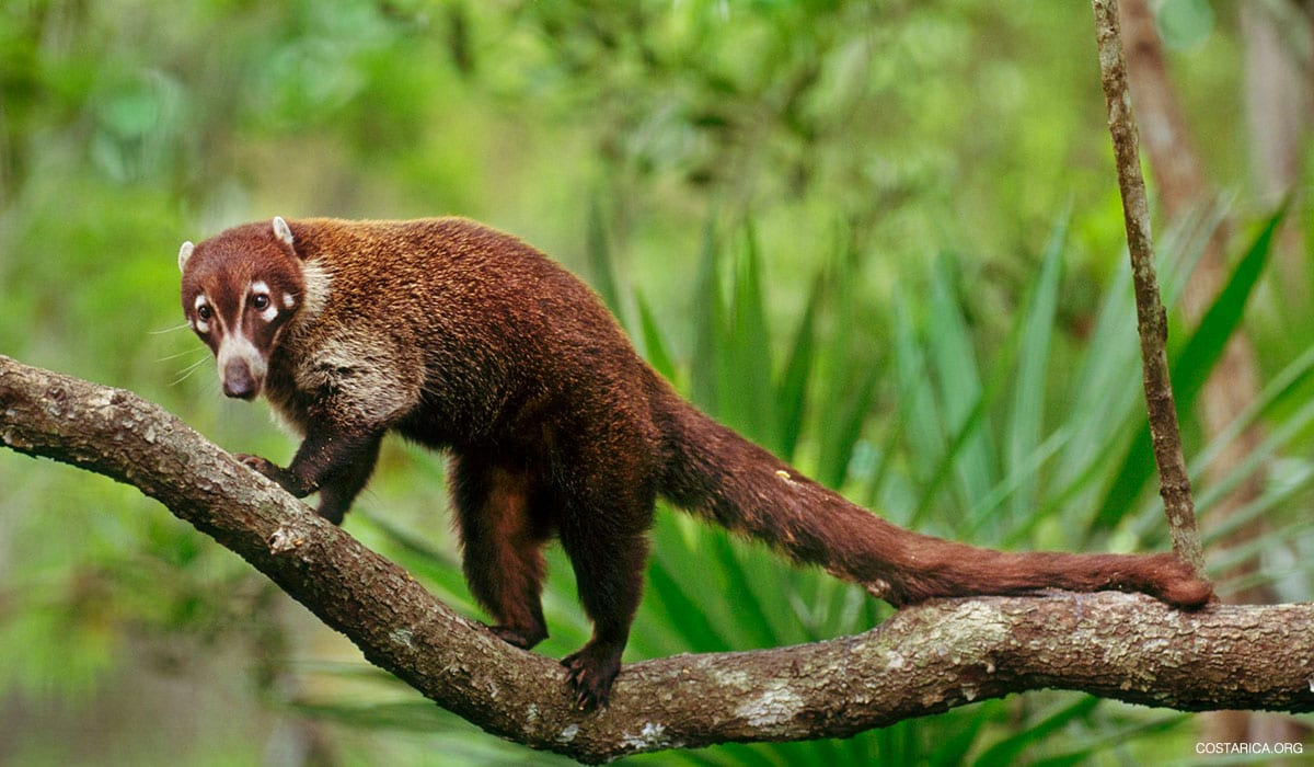 White Nosed Coati or Coatimundi